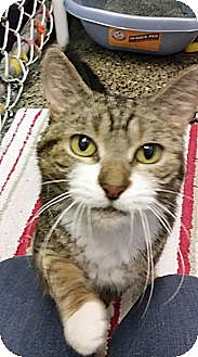 Domestic Shorthair Cat for adoption in Freeport, New York - Samantha