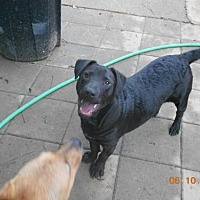 Labrador Retriever/Shar Pei Mix Dog for adoption in Loganville, Georgia - Kota