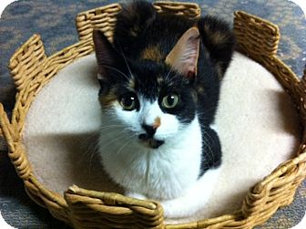 Calico Cat for adoption in Bryn Mawr, Pennsylvania - Amber/ AFFECTIONATE/ LAP CAT