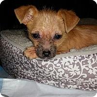 Adopt A Pet :: Danner - Las Vegas, NV