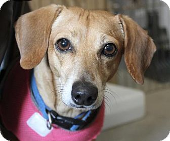 Dachshund Dog for adoption in Lancaster, California - Pebbles