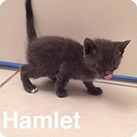 Adopt A Pet :: Hamlet - Gainesville, FL