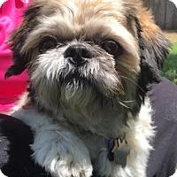Shih Tzu Dog for adoption in North Richland Hills, Texas - Rusty