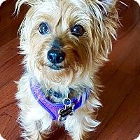 Adopt A Pet :: RAVEN - Rockville, MD