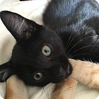 Domestic Shorthair Kitten for adoption in Elyria, Ohio - Saturn