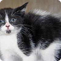 Domestic Mediumhair Kitten for adoption in Wildomar, California - Cleo