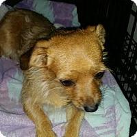 Cairn Terrier/Chihuahua Mix Dog for adoption in Santa Ana, California - Shabu - (RC)