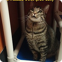 Adopt A Pet :: Twinkle Toes - Tiffin, OH