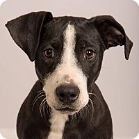 Adopt A Pet :: Fancy Lab Mix - St. Louis, MO