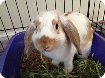 Lop-Eared for adoption in Newtown Square, Pennsylvania - Scarlet