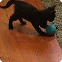 Domestic Shorthair Kitten for adoption in Hanover, Ontario - Franklin