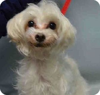 Maltese Mix Dog for adoption in Bernardston, Massachusetts - Tea Cup