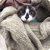 Adopt A Pet :: Mocha Latte - Frankfort, IL