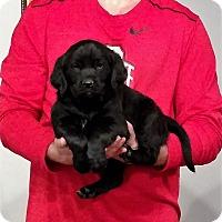 Adopt A Pet :: Midnight - New Philadelphia, OH