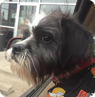 Schnauzer (Miniature)/Shih Tzu Mix Puppy for adoption in East Hartford, Connecticut - Rocket