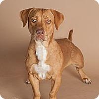 Adopt A Pet :: Uno - Scottsdale, AZ