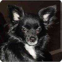 Adopt A Pet :: Pelusa - Arlington, TX