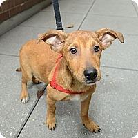 Adopt A Pet :: Perkins - New York, NY