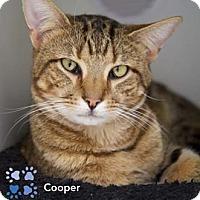 Adopt A Pet :: Cooper - Merrifield, VA