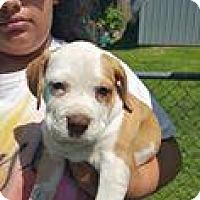 Adopt A Pet :: Dixie - Marlton, NJ