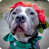 Adopt A Pet :: Blue Belle - Alpharetta, GA