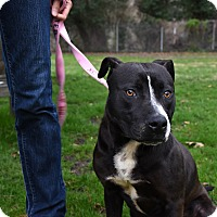 Adopt A Pet :: Dom - Reisterstown, MD
