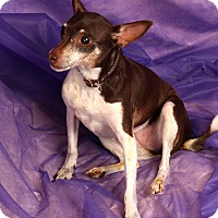 Adopt A Pet :: Josephine Chi - St. Louis, MO