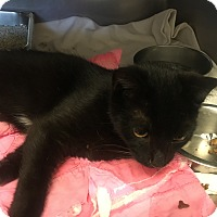 Domestic Shorthair Cat for adoption in Homewood, Alabama - Darko