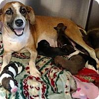 Adopt A Pet :: Louanna $95 - Seneca, SC