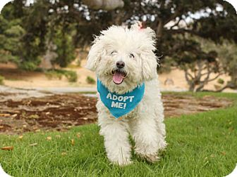 Poodle (Miniature) Mix Dog for adoption in Pacific Grove, California - Bebe Poodle