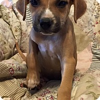 Adopt A Pet :: Maddox - Modesto, CA