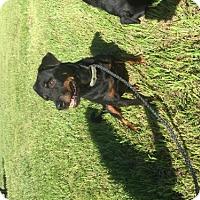 Rottweiler Dog for adoption in Oviedo, Florida - Diamond