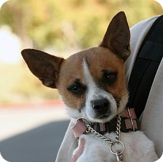 Chihuahua Mix Dog for adoption in Palmdale, California - D.J.