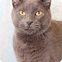 Russian Blue Cat for adoption in Encinitas, California - Sasha
