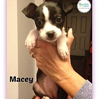 Adopt A Pet :: Macey - Plainfield, IL