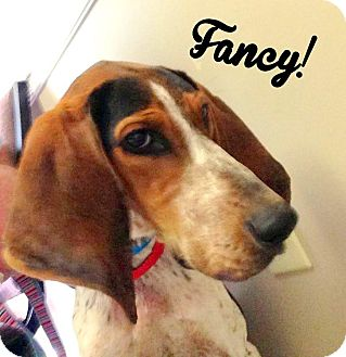 Bluetick Coonhound Mix Dog for adoption in PORTLAND, Maine - Fancy
