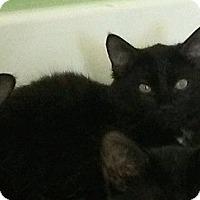 Domestic Mediumhair Kitten for adoption in Seminole, Florida - Cubby Bear