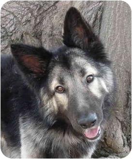 German Shepherd Mixed With Timber Wolf Loki von timberwolf adopted dog ...