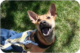 Formosa Mountain Dog Puppy For Adoption