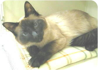 Birman Cat for adoption in Mesa, Arizona - Black Paw
