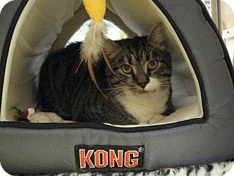Domestic Shorthair Cat for adoption in Temple, Pennsylvania - Tabby!