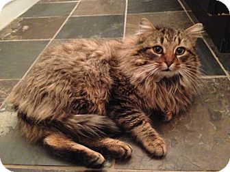 Domestic Mediumhair Cat for adoption in Huntsville, Ontario - Mr. Mittens - Cuddles dogs!