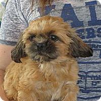 Adopt A Pet :: Gizmo - Greenville, RI