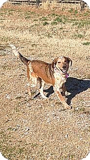 Australian Cattle Dog Mix Dog for adoption in Russellville, Kentucky - Sara