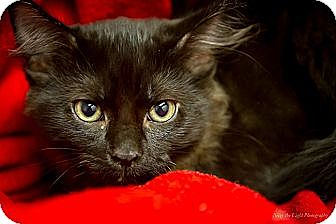 Domestic Mediumhair Cat for adoption in Bulverde, Texas - Bruno