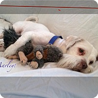 Adopt A Pet :: MARLEY - Boca Raton, FL