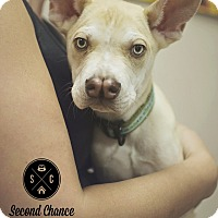 Adopt A Pet :: Volt *ADOPTION PENDING* - Las Vegas, NV