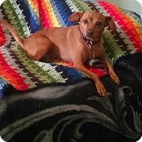 Miniature Pinscher Mix Dog for adoption in Cherry Valley, California - Peter