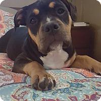 Adopt A Pet :: LuLu Belle - Dayton, OH