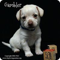 Adopt A Pet :: Gambler - Simi Valley, CA